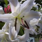 photo fleur de lys blanc