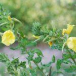 photo fleur onagre