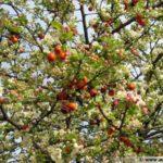 photo fleurs pommier