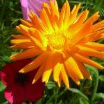 photo fleurs soucis