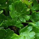 Renoncule à feuilles de Parnassie