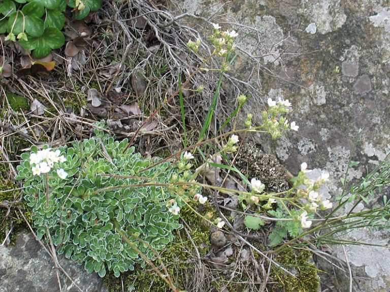 photo saxifrage sillonnée