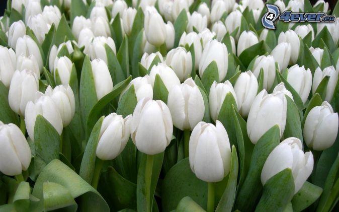 Tulipe Blanche 2