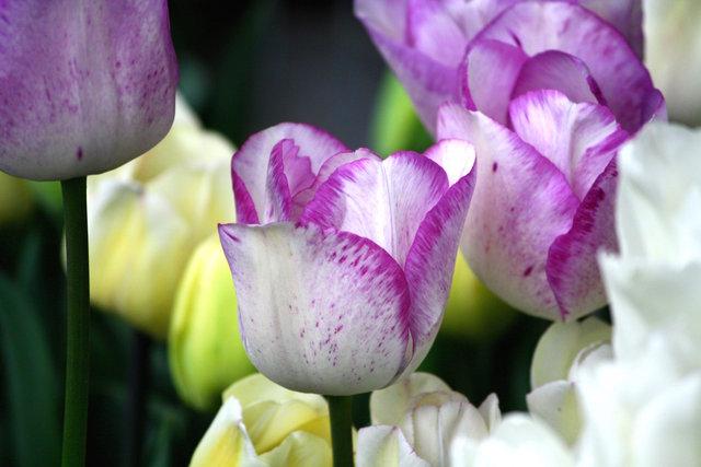 photo tulipe blanche