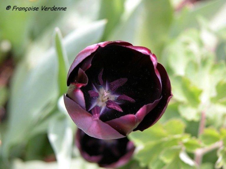 photo tulipe noire