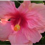 photo de fleur hawaienne
