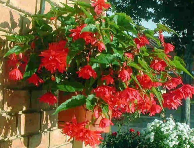 photo photo de fleur begonia