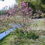 photo fleur de magnolia