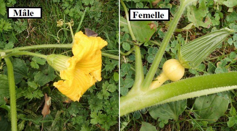 photo photo fleur de kiwi male et femelle
