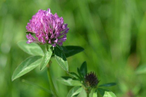 photo photo fleur de trèfle