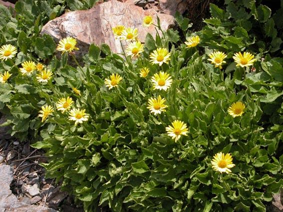 photo doronic à grandes fleurs