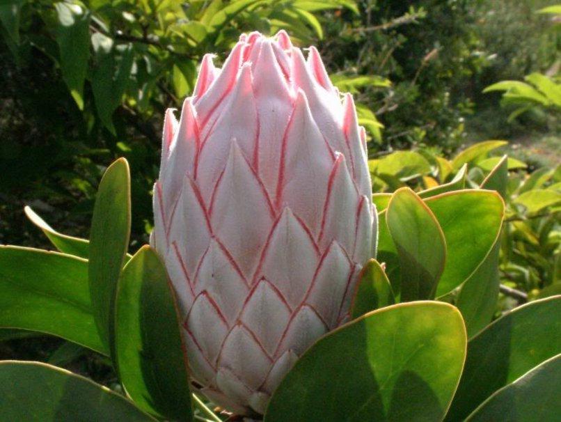 Exemple photo de fleur hawaienne - Fleure hawaienne ...
