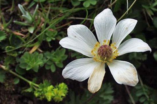photo sabline à grandes fleurs