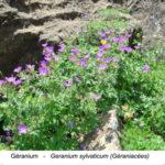 Géranium des bois