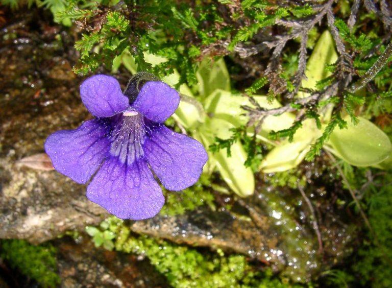 photo grassette à grande fleur