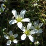 Sabline à grandes fleurs