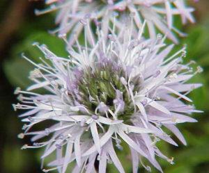 Géranium cendré blanc
