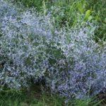 Limonium à feuilles sinuées