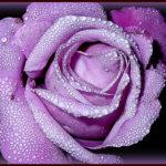photo de belle fleur rose