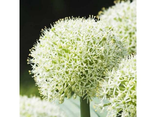 photo de fleur a bulbe 4. Black Bedroom Furniture Sets. Home Design Ideas