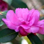 photo de fleur camelia