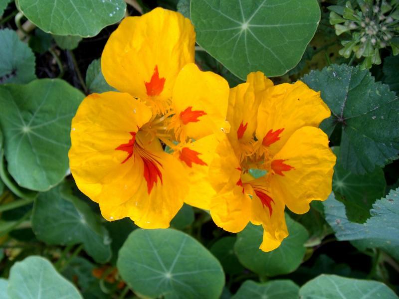 Photo De Fleur Capucine 6