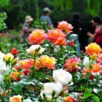 photo de fleur chinoise