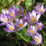 photo de fleur crocus
