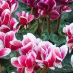 photo de fleur cyclamen