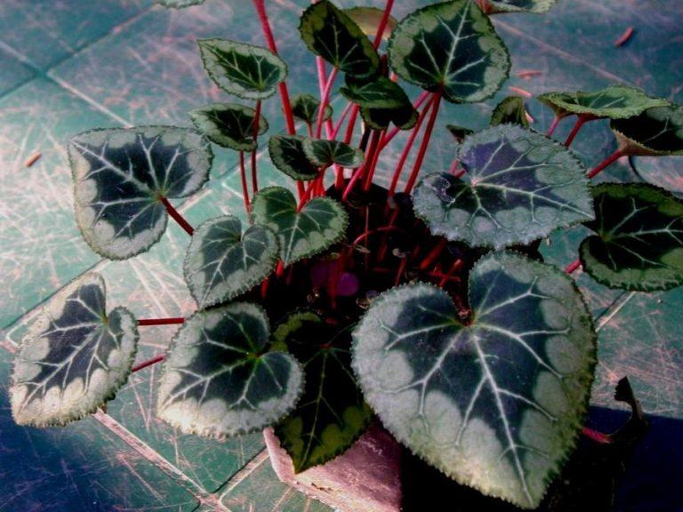 photo photo de fleur cyclamen