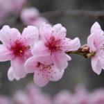 photo de fleur de cerisier