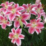photo de fleur de lys