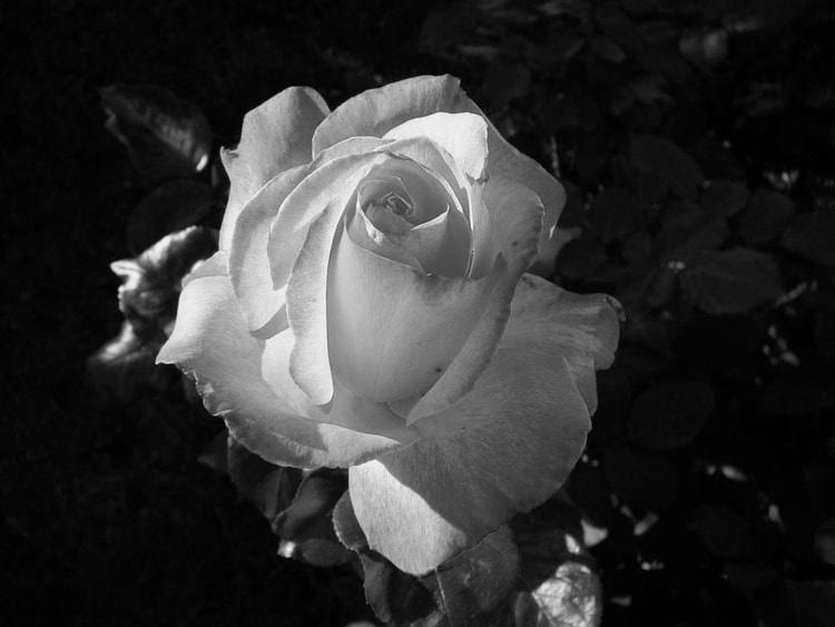 Photo De Fleur En Noir Et Blanc