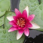 photo de fleur japonaise