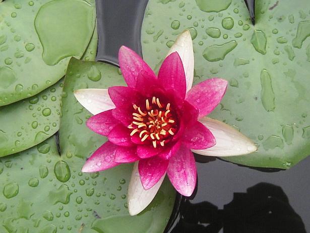 photo photo de fleur japonaise