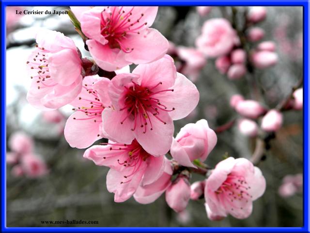 Fleur Japonaise Vap Vap