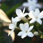 photo de fleur jasmin