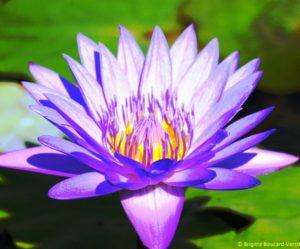 photo de fleur lotus