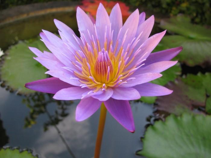photo photo de fleur lotus