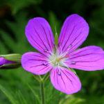 photo de fleur mauve
