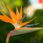 photo de fleur oiseau du paradis
