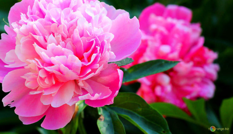 photo photo de fleur pivoine