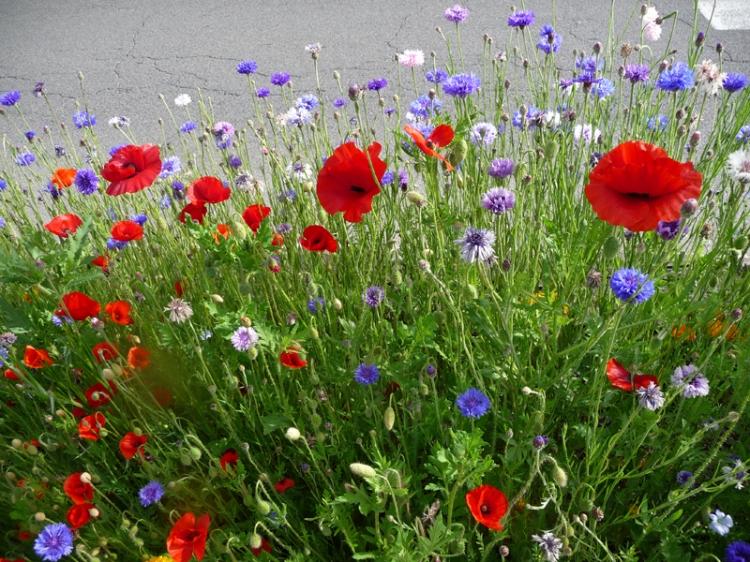 Photo de fleurs des champs - Fleurs des champs blanches ...