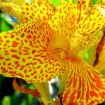 photo fleur canna