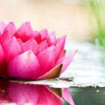 photo fleur de bach