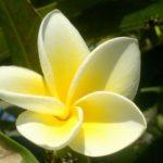 photo fleur de frangipanier