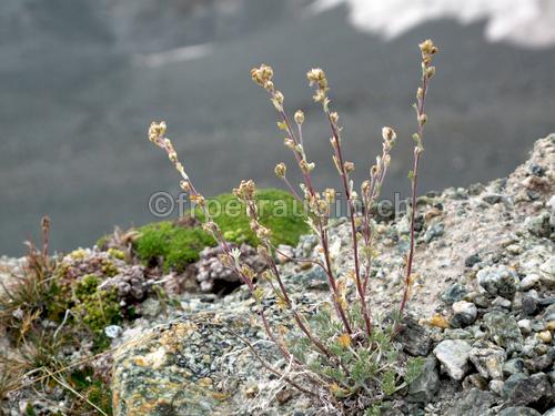 Photo Fleur De Genepi 4