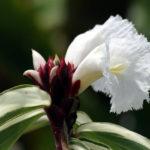 photo fleur de gingembre