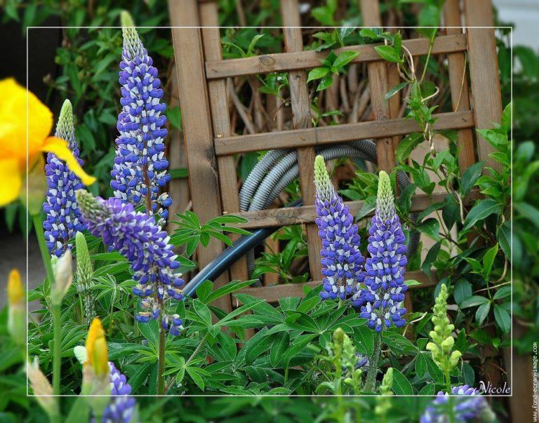 photo photo fleur de lupin