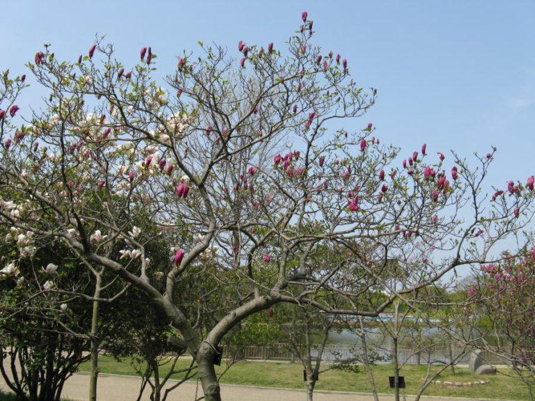 photo photo fleur de magnolia